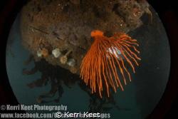 Beautiful gorgonian fan which is usually found at depth, ... by Kerri Keet