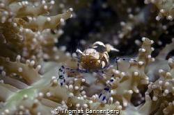 glass shrimp by Thomas Bannenberg