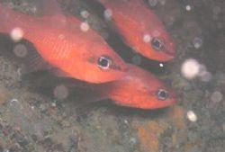 Cardinalfish by Hakan Taslicay