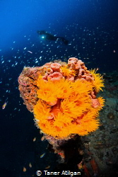 Beautiful Corals on the Wreck by Taner Atilgan