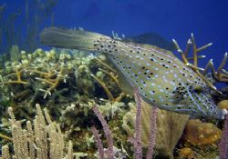 This scrawled filefish was seen July 2004 in Roatan. The ... by Bonnie Conley
