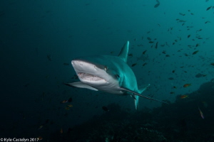 Grey Reef Shark about to get its teeth cleaned by Kyle Castelyn