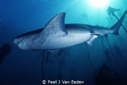 Meet the Gentle Giant- the ancient cowshark by Peet J Van Eeden
