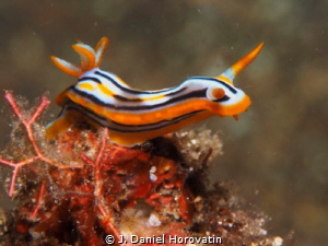 Nudibranch (chromodoris colemani?) by J. Daniel Horovatin