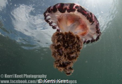 Compass jellyfish which had drifted into a False Bay mari... by Kerri Keet