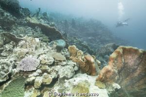 corals by Susanna Randazzo