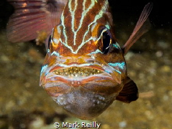 Cardinal fish showing eggs by Mark Reilly
