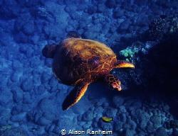Turtle Maui by Alison Ranheim