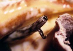 Eye of a Hamit crab (Auge eines Einsiedlerkrebs) by Ralf Levc