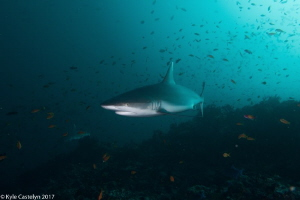 Grey Reef Shark by Kyle Castelyn