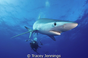 Blue shark in the Azores by Tracey Jennings
