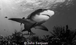 Lemond shark by Julio Sanjuan
