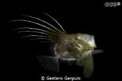Zeus faber free swimming taken with 105/2.8 (small specimen) by Gaetano Gargiulo