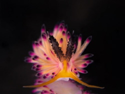 kind of colourful Nudibranch found in Tulamben, Bali , In... by Eng Guan Goh
