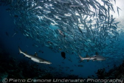 Jacks and sharks by Pietro Cremone