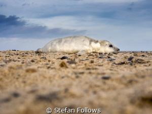 Top of the Heap ...  Grey Seal (pup) - Halichoerus gryp... by Stefan Follows