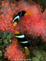 pinky anemone by Robby Quento