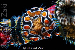 Brittle Star by Khaled Zaki