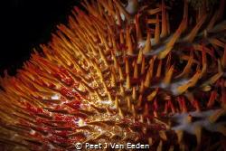 Crown of Thorns-Path of destruction by the specialist pre... by Peet J Van Eeden