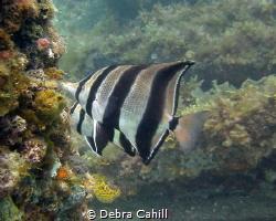 Western Talma Rapid Bay Jetty South Australia by Debra Cahill
