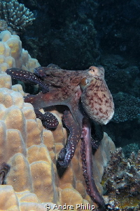 """Hanging up"" - Day Octopus (Octopus cyanea) by Andre Philip"