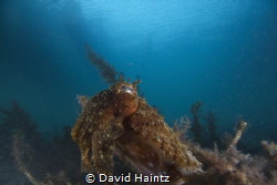 Blairgowrie Cuttlefish by David Haintz