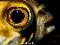 Puffer fish by Mark Reilly