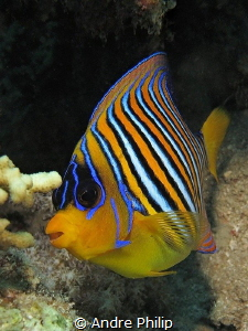 The Royal Angelfish (Pygoplites diacanthus) by Andre Philip
