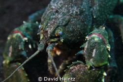 Ewen Ponds Crayfish by David Haintz