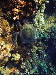 I Heart Turtles! by Alison Ranheim