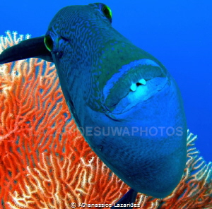 Trigger fish with a coral background. Two photos were use... by Athanassios Lazarides