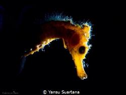Hippocampus Thorny seahorse by Yansu Suartana