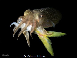 A cuttlefish fish enjoys a BIG lunch that was actually lo... by Alicia Shaw