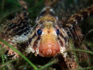 Small Scaled Scorpionfish by Aleksandr Marinicev