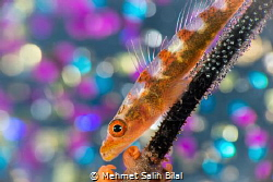 Goby with eggs. by Mehmet Salih Bilal