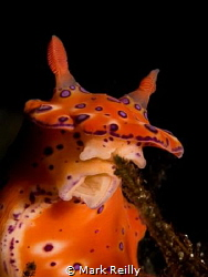 Nudibranch eating lunch Busselton jetty by Mark Reilly