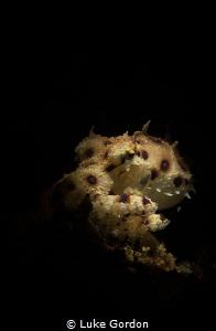 Bluering Octopus by Luke Gordon