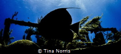 Angel Fish Silhouette - Shipwreck by Tina Norris