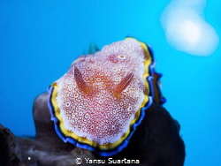 Glossodoris sp, it's something new nudibranch that i've s... by Yansu Suartana