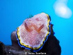 Glossodoris sp, it's something new nudibranch that i've s... by Yansu Suartana