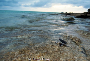 This baby turtle was less than 5 minutes when they made i... by Emma Camp