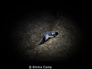 This baby turtle was less than 5 minutes old and was navi... by Emma Camp