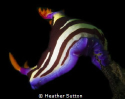 Nudibranch on the lookout, The Steps, Kurnell, Sydney by Heather Sutton