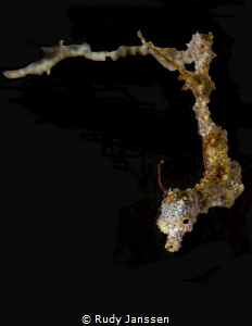 Lembeh sea dragon by Rudy Janssen