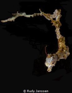 Lembeh sea dragon by Rudy Janssen