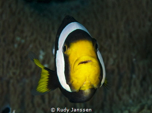 clownfish  by Rudy Janssen