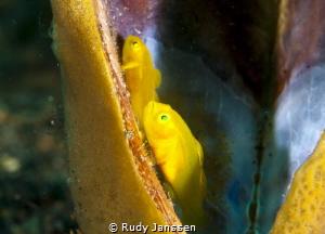 Lemongoby by Rudy Janssen
