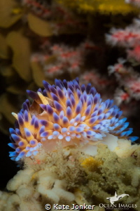 A gasflame nudibranch brings even more colour to the beau... by Kate Jonker