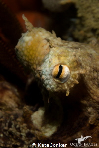 A common octopus peers inquisitively from his hiding plac... by Kate Jonker