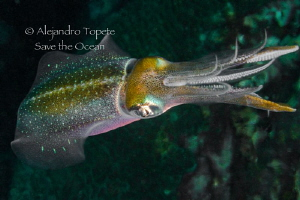 Squid black and green, Veracruz México by Alejandro Topete